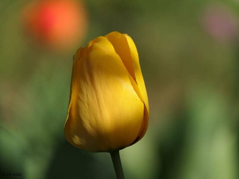 Une autre tulipe jaune 20200412164900-062cda16-me