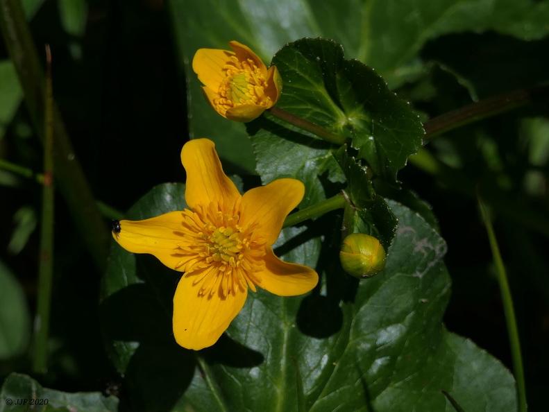 Fleurs de Chartreuse 20200529175946-162bc9a1-me