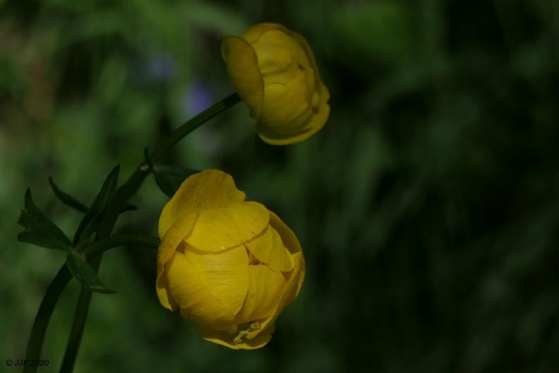 Fleurs de Chartreuse 20200601165900-8f00d69a-me