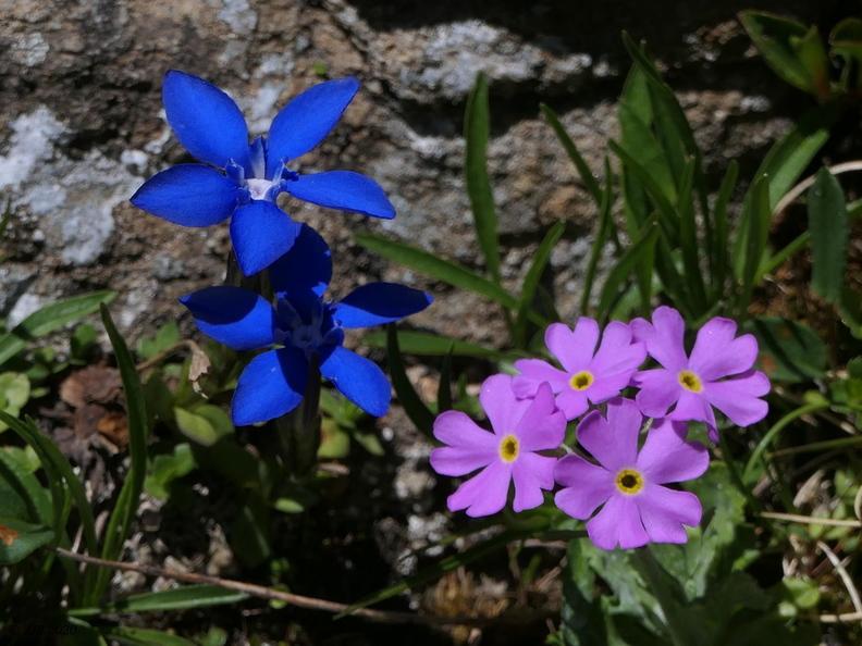 Fleurs d'altitude 20200701213058-f3c0152b-me