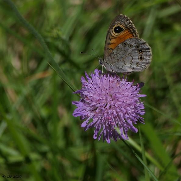 Papillon Lasiommata maera 20200704205138-955986da-me