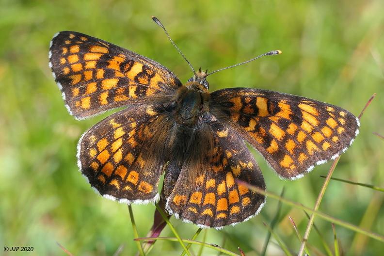 Papillon Damier Athalie 20200714165902-9ae6d288-me