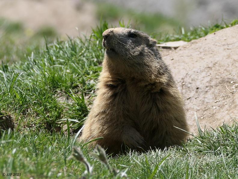 Marmotta marmotta 20210606164234-d98e1445-me