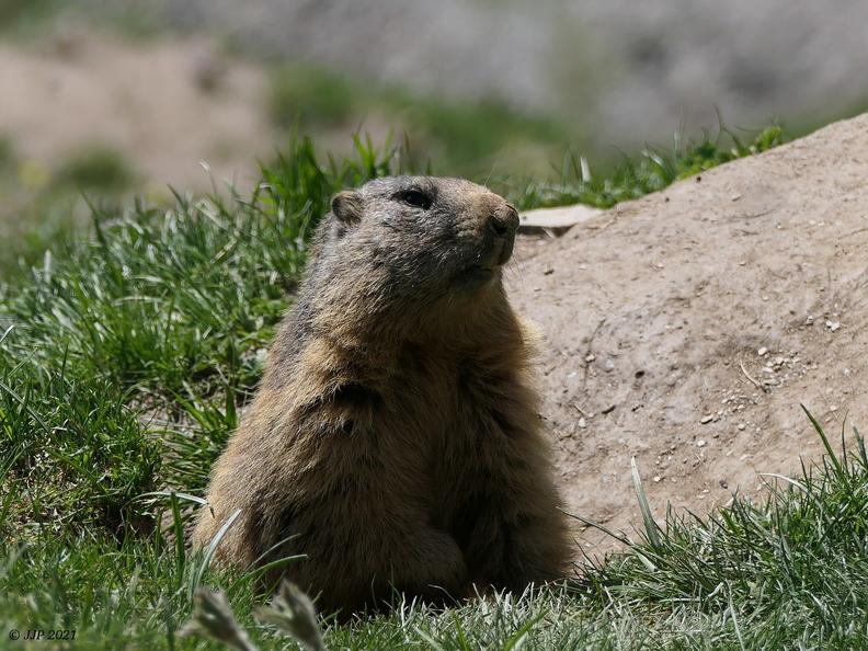 Marmotta marmotta 20210606164240-bc98322c-me