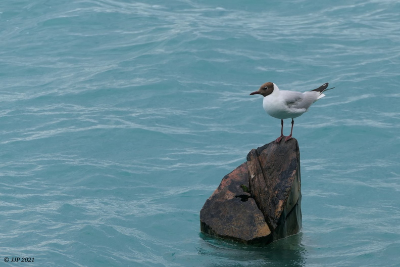 Mouette rieuse 20210711205442-8aacff52-me